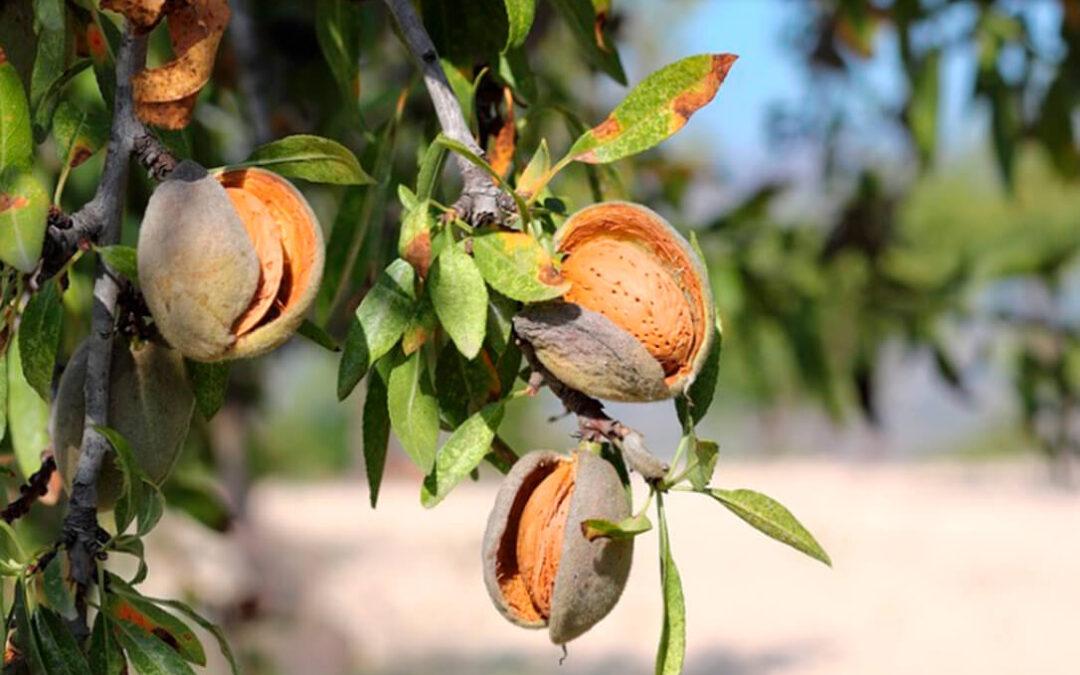 Los hongos y la heladas provocan pérdidas del 70% en la cosecha de almendra en Almería, Granada y Jaén