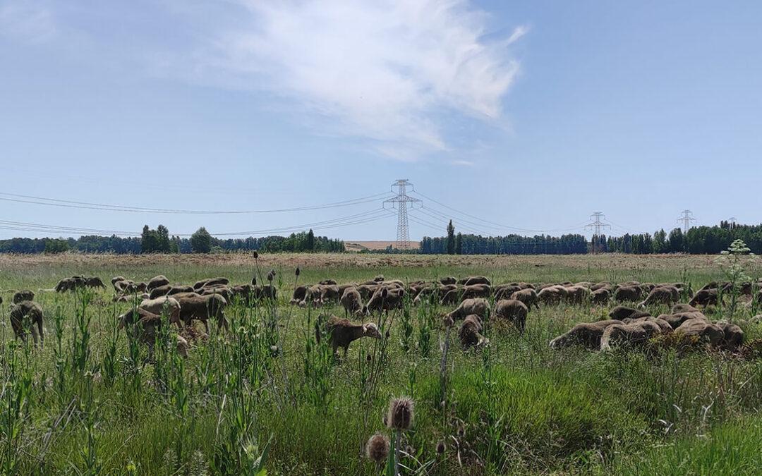 El sector del ovino y caprino apoya a la Trashumancia como reivindicación de nuestro patrimonio rural, medioambiental y social