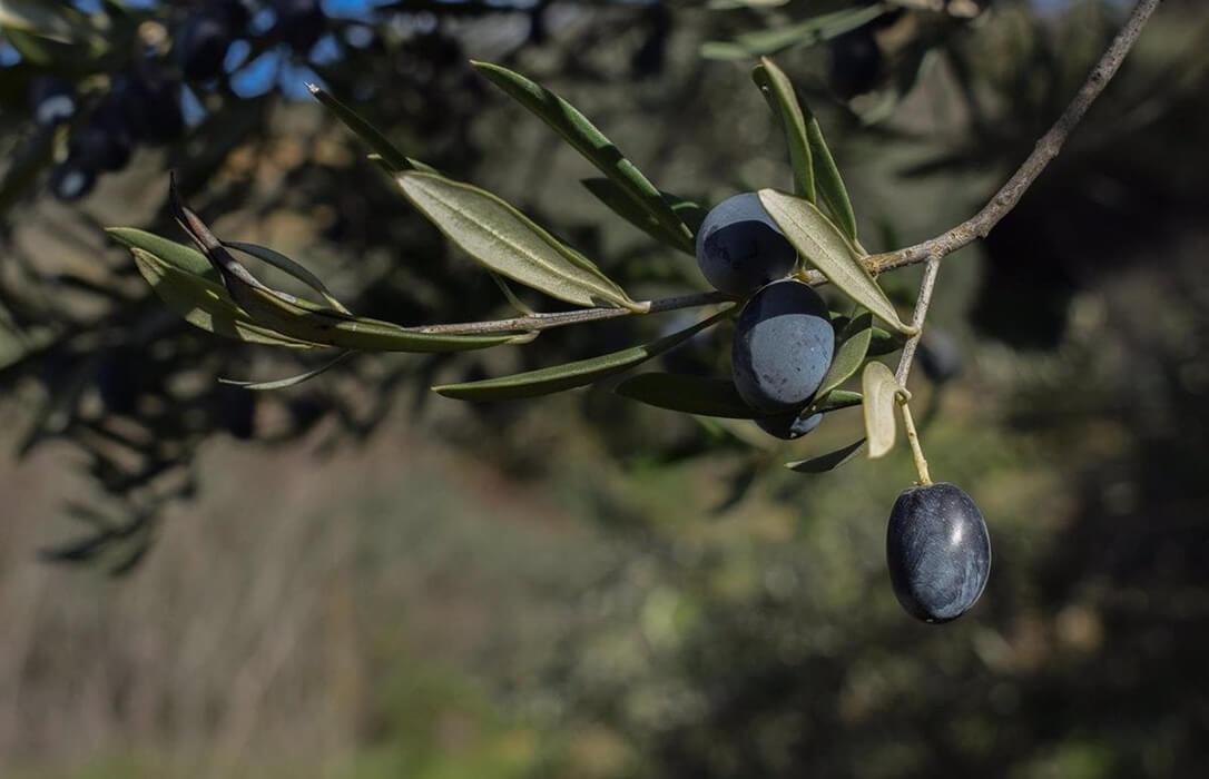 La aceituna negra es la gran perdedora del acuerdo de la eliminación de los aranceles al mantener una presión del 35%