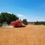 La primera estimación de la cosecha española de cereales prevé una bajada del 18% anual, según cooperativas