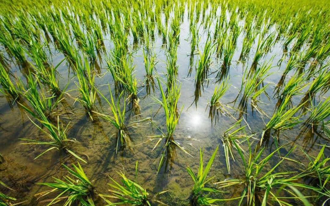 La sequía meteorológica pasa factura al algodón y los herbáceos del suroeste y ya se recurre a la «siembra en seco» del arroz