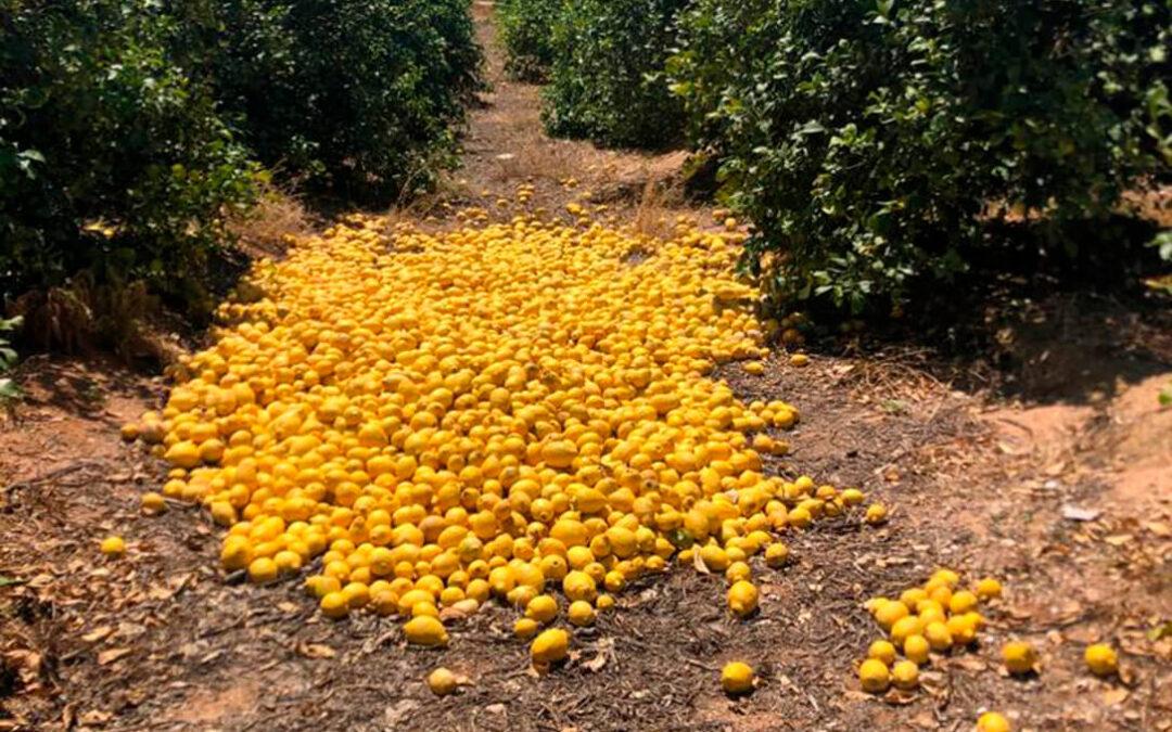 La fruta en los árboles sin recoger: Campaña desastrosa en el limón con unas pérdidas que podrían ser superiores a los 52 millones