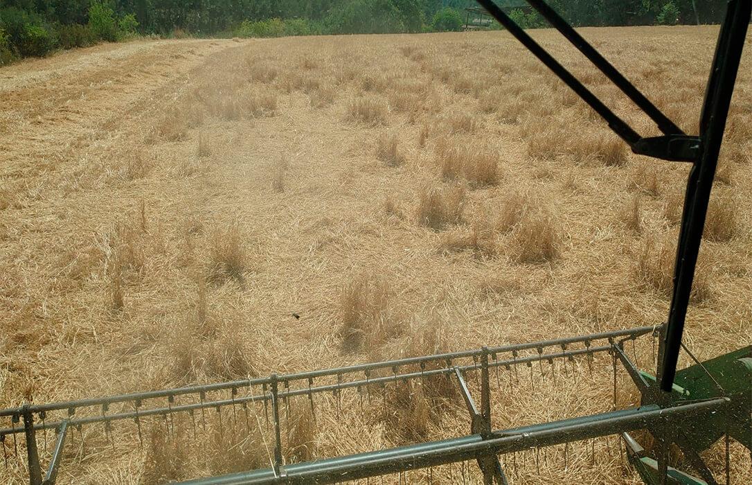 Denuncian graves destrozos por las manadas de jabalíes en los campos de cereal y piden una ley para poder cazarlos con cobertura legal