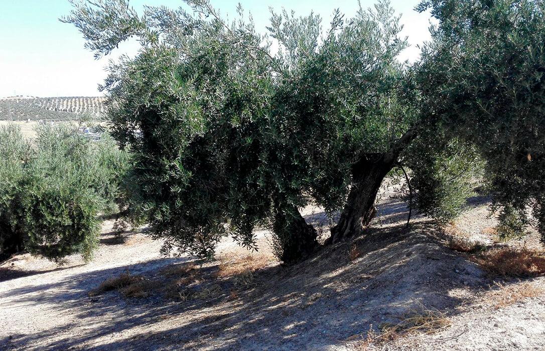 Satisfacción por el compromiso de Planas en las ayudas de la PAC al olivar tradicional, al que piden un ecoesquema propio