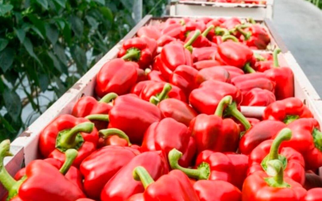 El pimiento se consolida en Almería como líder de la producción hortícola en detrimento del tomate