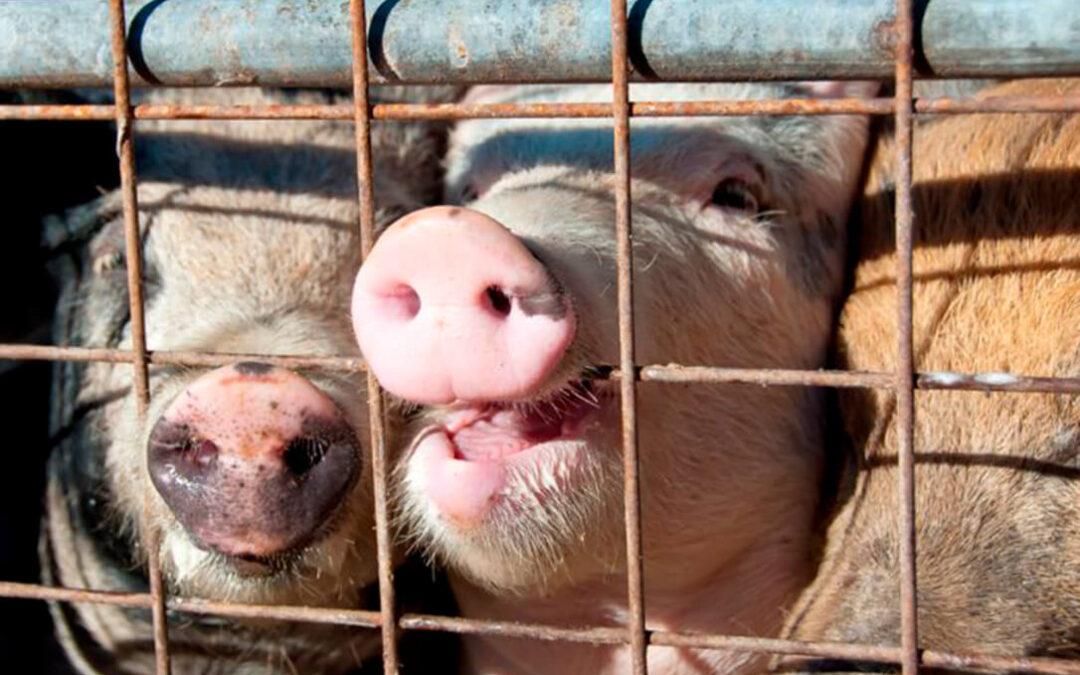 La CE respalda la prohibición de las jaulas en la ganadería para 2023 para gallinas, cerdos, terneros, conejos, patos o gansos