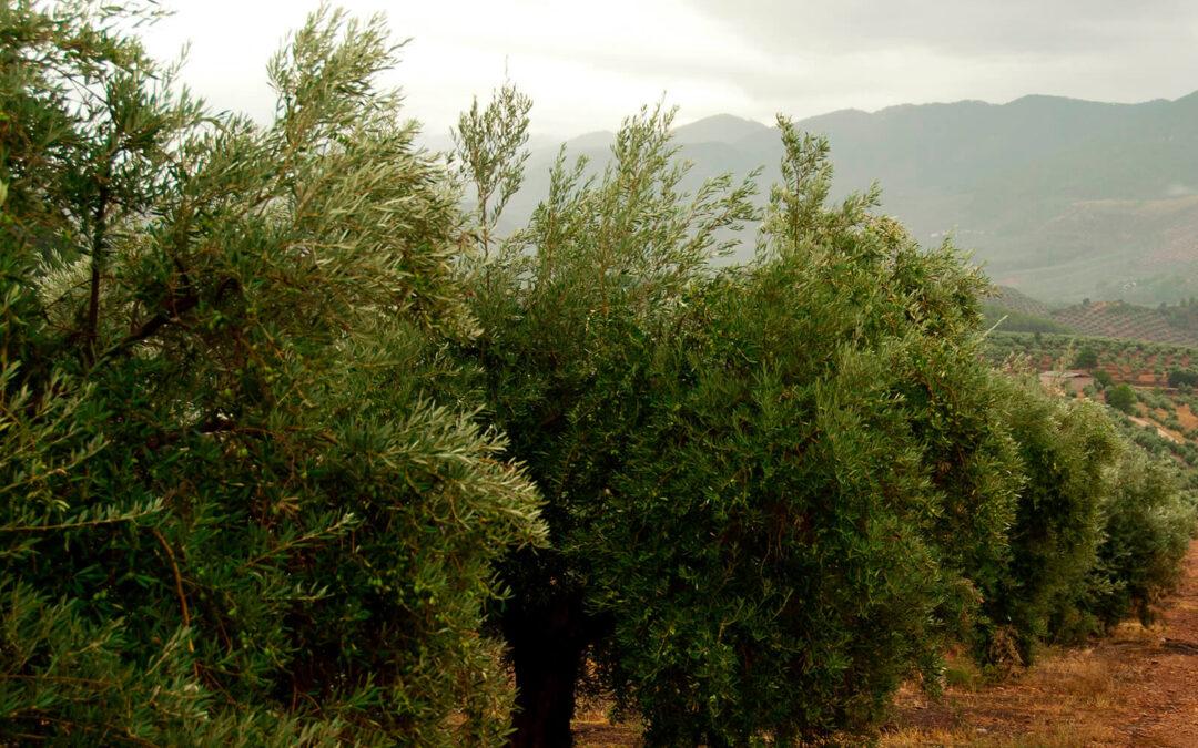 Mensaje claro a Europa y la PAC: «El olivar es una joya ecológica que debemos mimar al máximo. No podemos permitirnos perderlos»