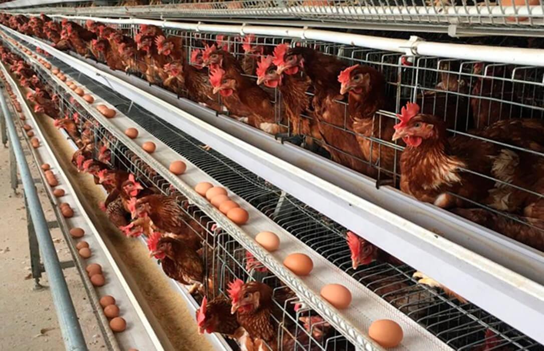 Consideran que la iniciativa de eliminar las jaulas en las granjas implicaría un encarecimiento de la producción