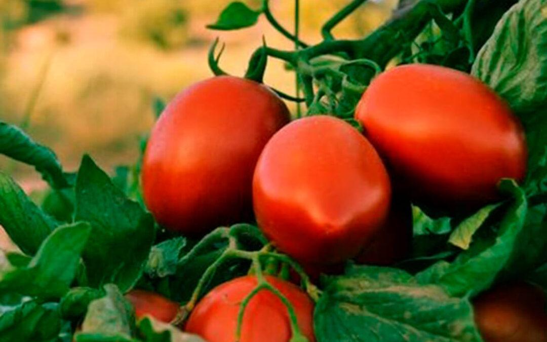 Reclaman una revisión al alza de los precios del tomate para que los agricultores puedan cubrir costes