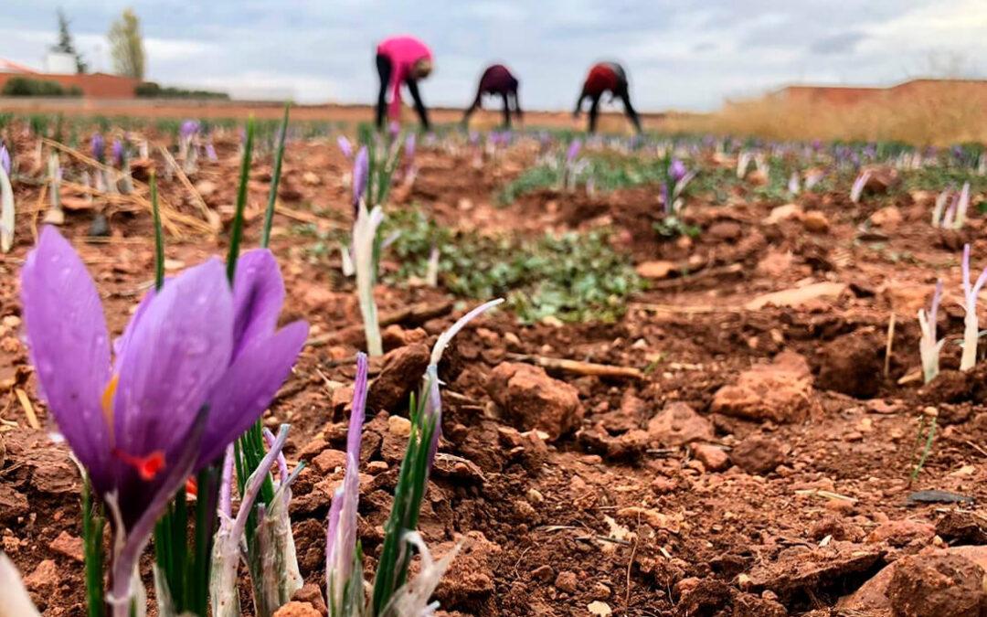 Un estudio científico identifica las condiciones óptimas de extracción de los atributos del Azafrán de La Mancha