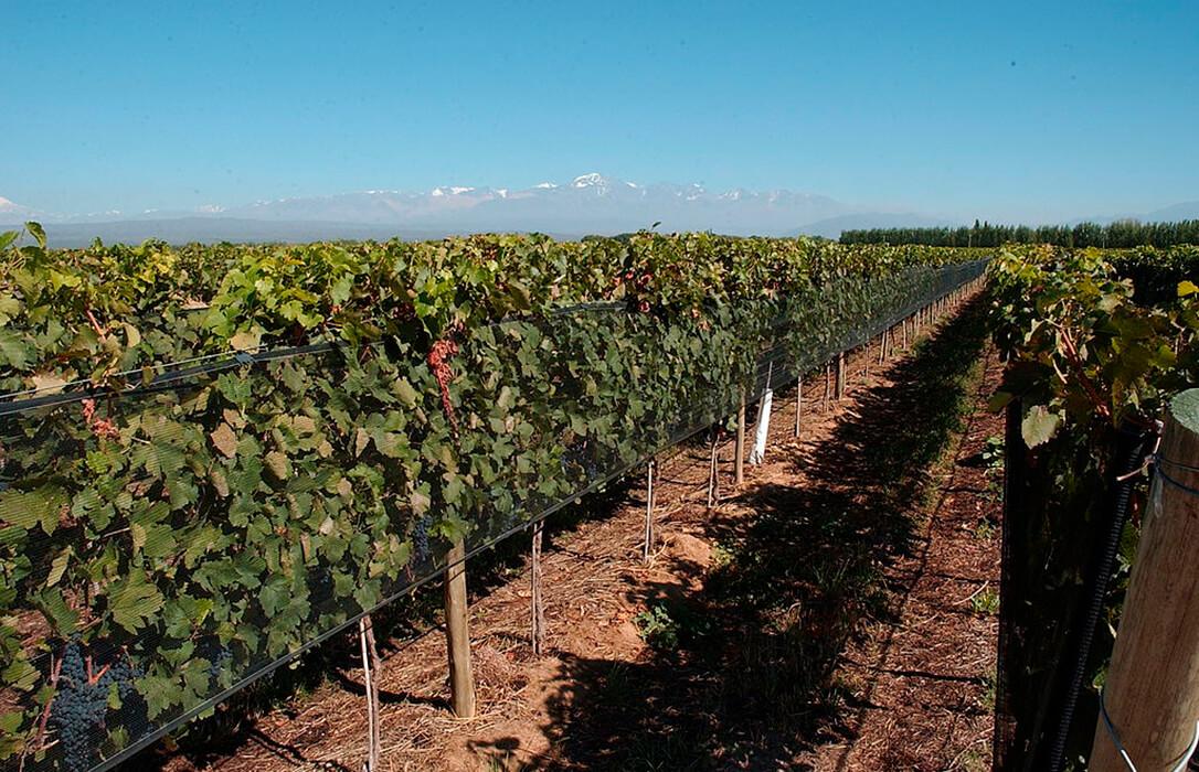 Se estima una bajada en la producción de uva del 35% en blanca y 45% en tinta en esta campaña en Extremadura