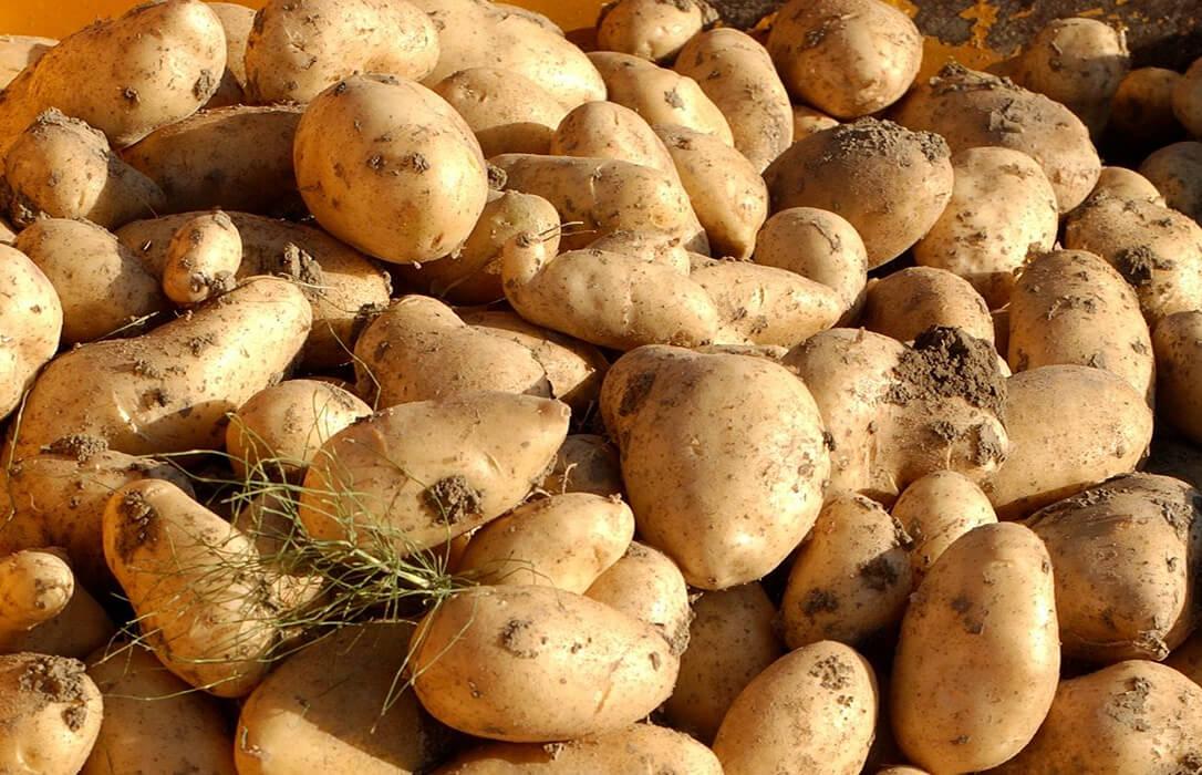 Nace Edurne, una nueva variedad de patata con nombre propio creada por Neiker