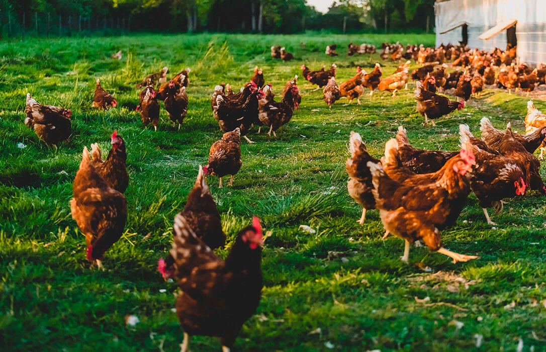 El Gobierno aprueba una nueva ordenación de granjas avícolas que mejora las condiciones ambientales y de sanidad animal