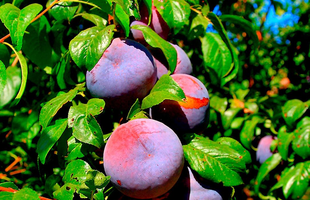 Acusan a la AICA y la Junta extremeña de hundir a los fruticultores: Cobran por la ciruela 17 cent, la mitad del coste de producirla