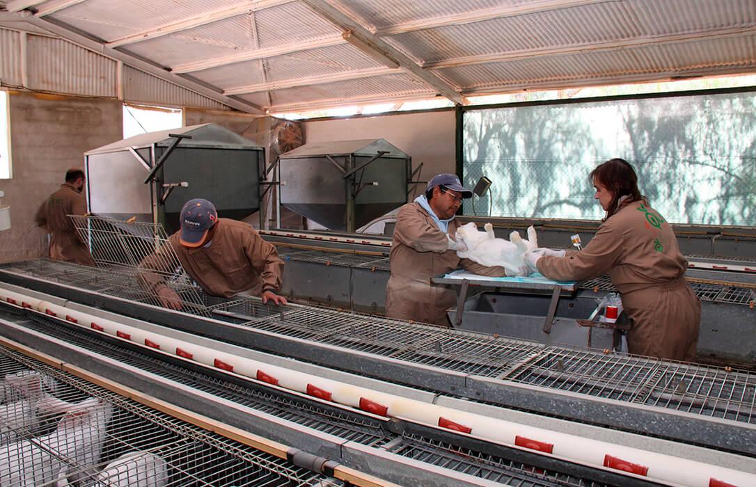 Otro sector que está al borde del abismo: La crisis de costes lleva a la ruina a los ganaderos de conejo