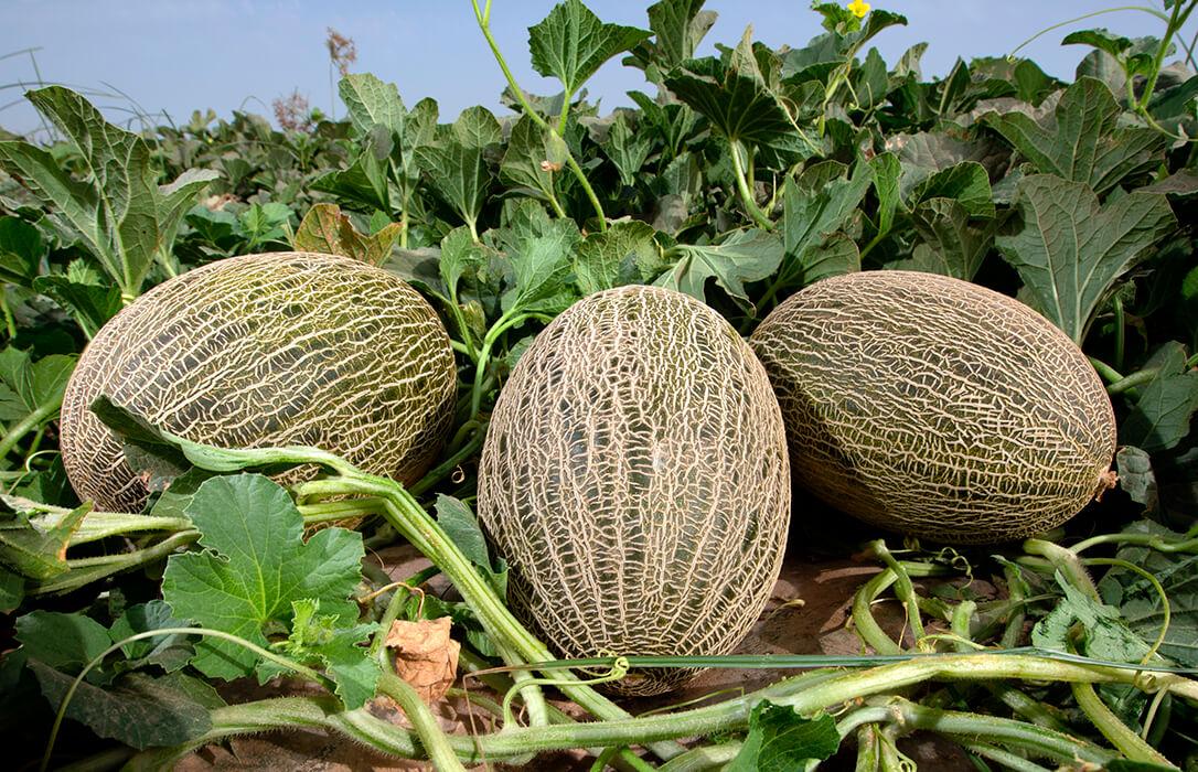El sector espera que la exportación eleve los precios del melón y sandía de La Mancha, que arranca con baja cotización