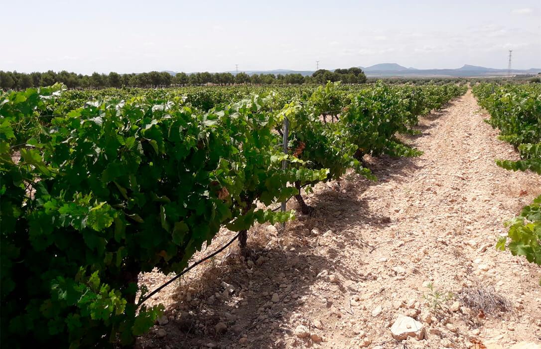 El sector vitivinícola murciano, a través de la calidad, pretende frenar el abandono de viñedos: La mitad que había en 2001