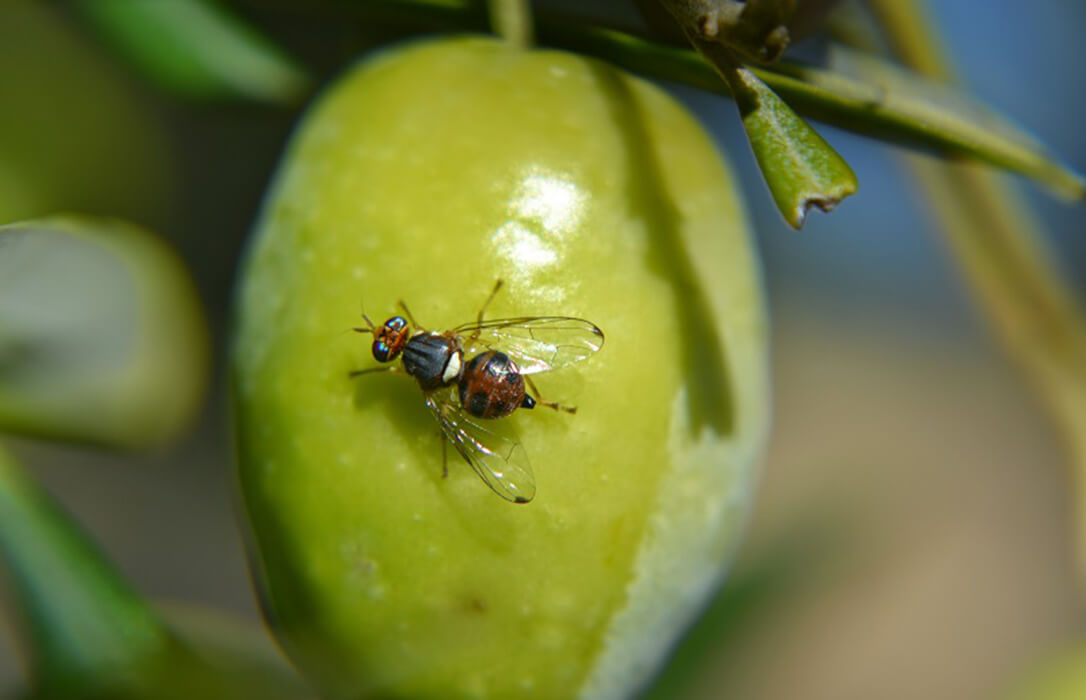 Todo listo en la DO Sierra Mágina para el control y tratamientos contra la plaga de la mosca del olivo