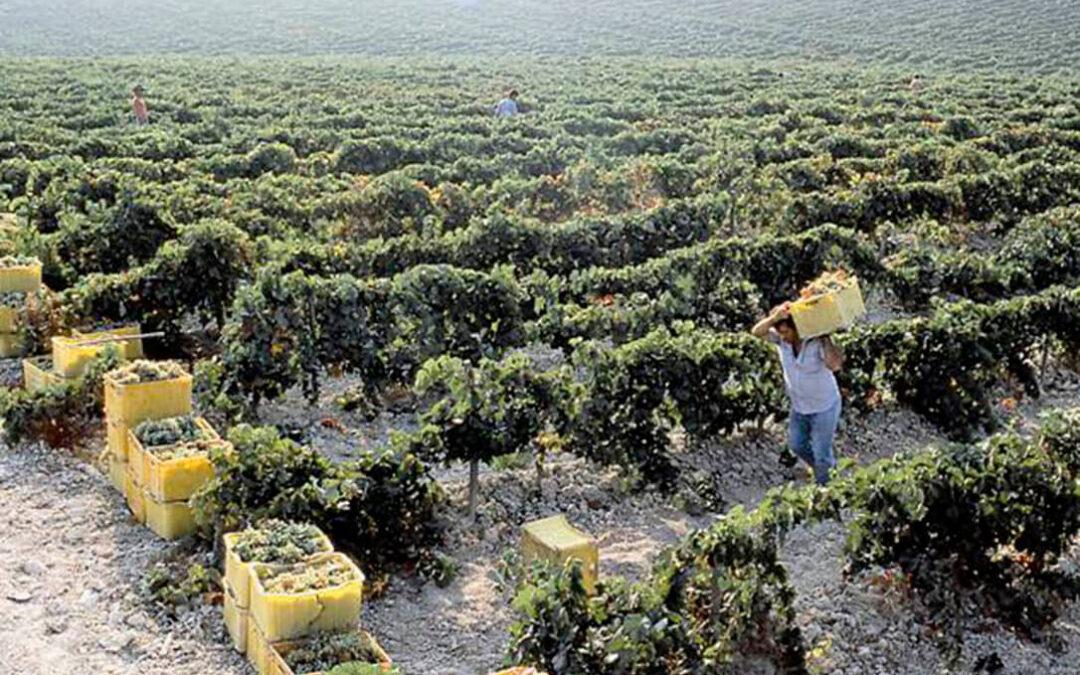 El primer pulso por el precio de la uva arranca con una oferta de las bodegas 7 céntimos menos del umbral de rentabilidad