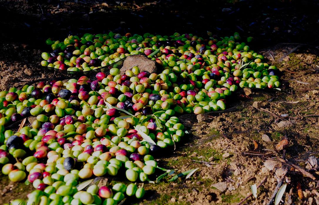 El calor pasa factura y Cooperativas ya prevé una producción de aceite de oliva inferior debido a la falta de lluvias