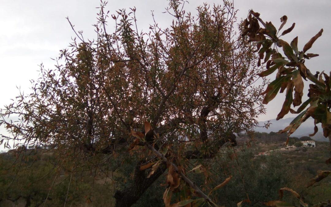 La Xylella sigue avanzando en la Comunidad Valenciana y ya ha llegado a la provincia de Valencia