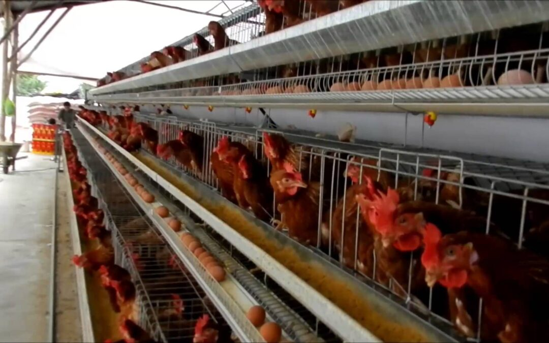 La Comisión trabaja en una propuesta para la prohibición de la cría en jaulas que entre en vigor en 2027