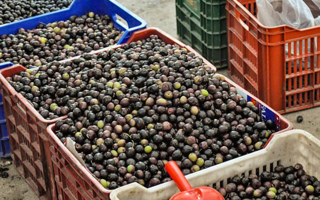 Asemesa espera buenos resultados en la aceituna verde al eliminar EEUU los aranceles mientras exige lo mismo para la negra