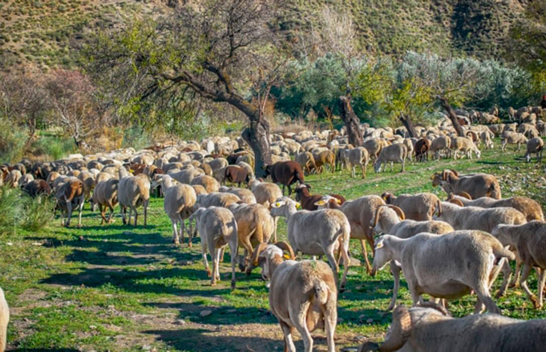 Una oveja muerta en un nuevo ataque de los lobos porque el buen hacer de los mastines impidió una carnicería