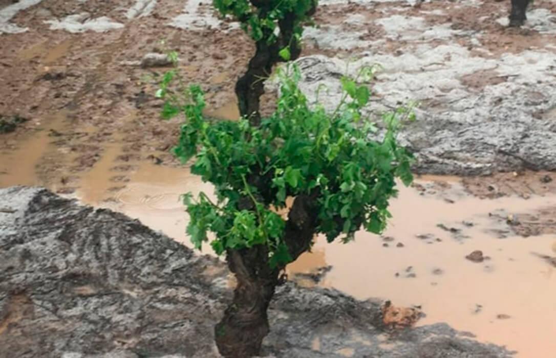 Agroseguro adelanta el pago de 4,65 millones de euros de indemnizaciones por daños en uva de vino