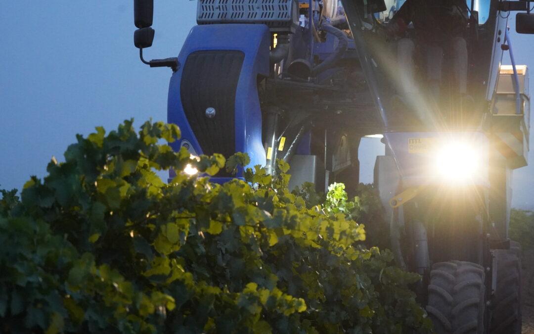 Empieza la vendimia en la DO La Mancha con la recolección de la uva blanca de ciclo temprano y buenas perspectivas de calidad