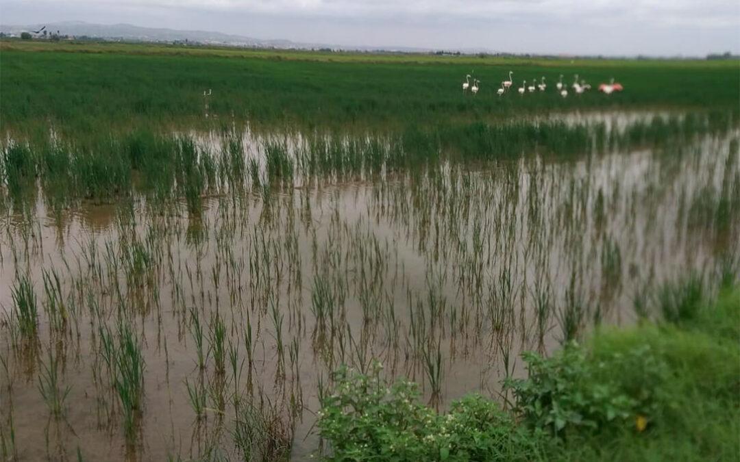 Los flamencos llevan dos meses destrozando campos enteros de arroz en la Albufera a costa del bolsillo del agricultor