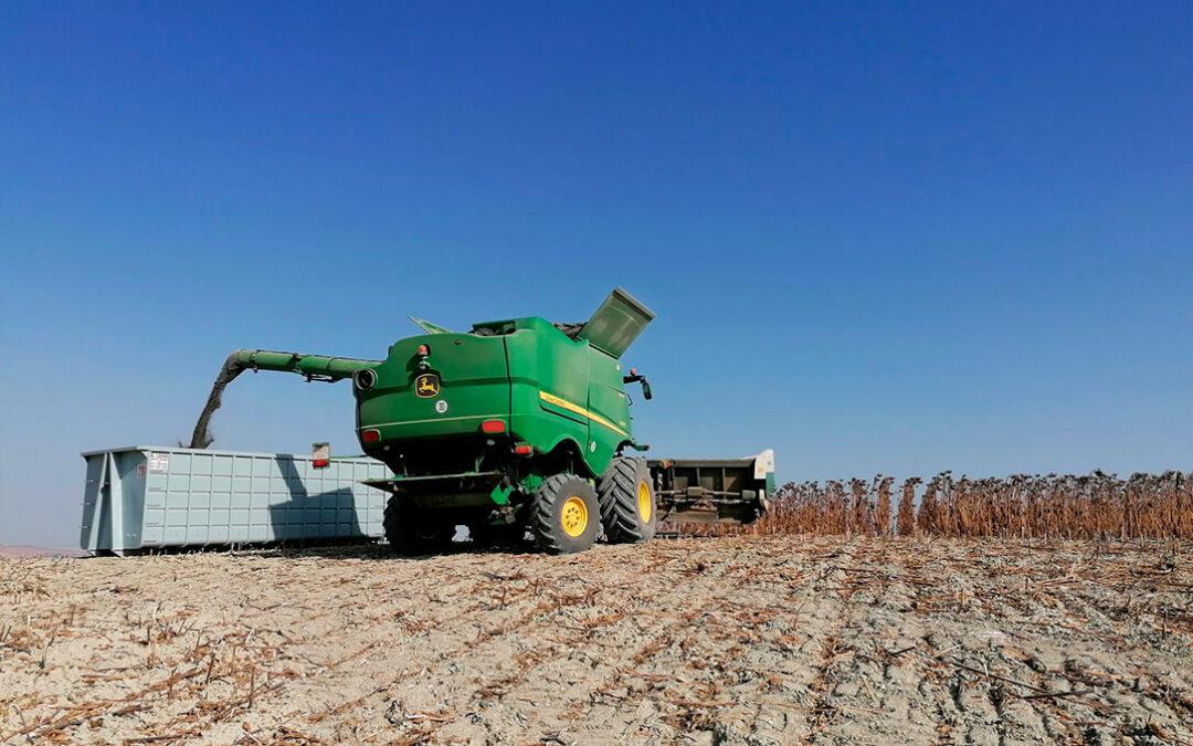La campaña del girasol se desarrolla con una bajada de la producción de un 15% en Córdoba