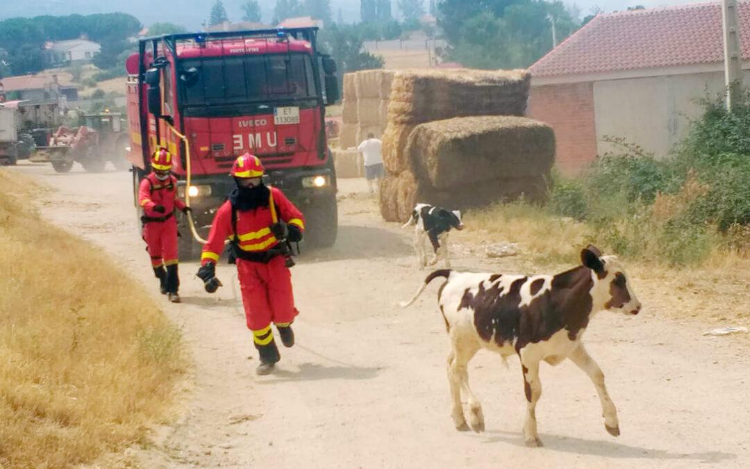 De responsables a víctimas: Los incendios forestales de Ávila afectan principalmente al ganado vacuno y a las ayudas de la PAC