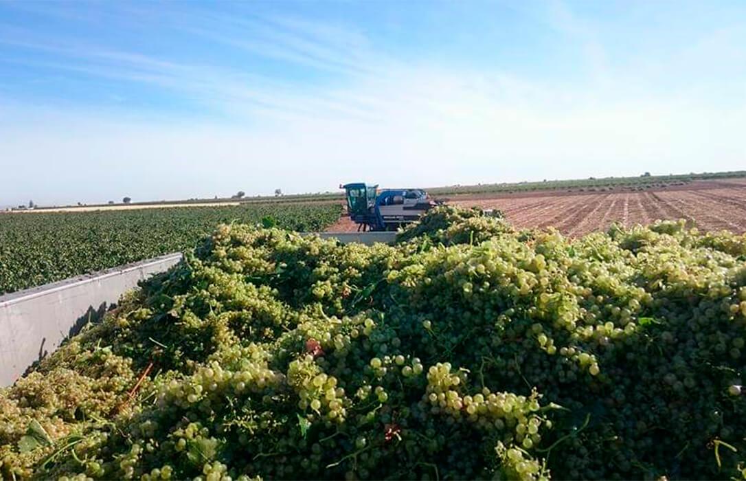 Las primeras estimaciones prevén un 20% menos de producción para la campaña vitivinícola de Castilla-La Mancha