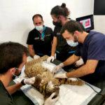 La Junta andaluza activa la colaboración con un hospital veterinario para salvar a un lince con una lesión pulmonar