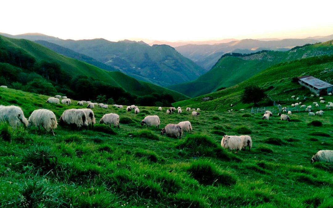 Preocupación por la expansión e inminente llegada del lobo al Pirineo navarro y su impacto en el sector ganadero
