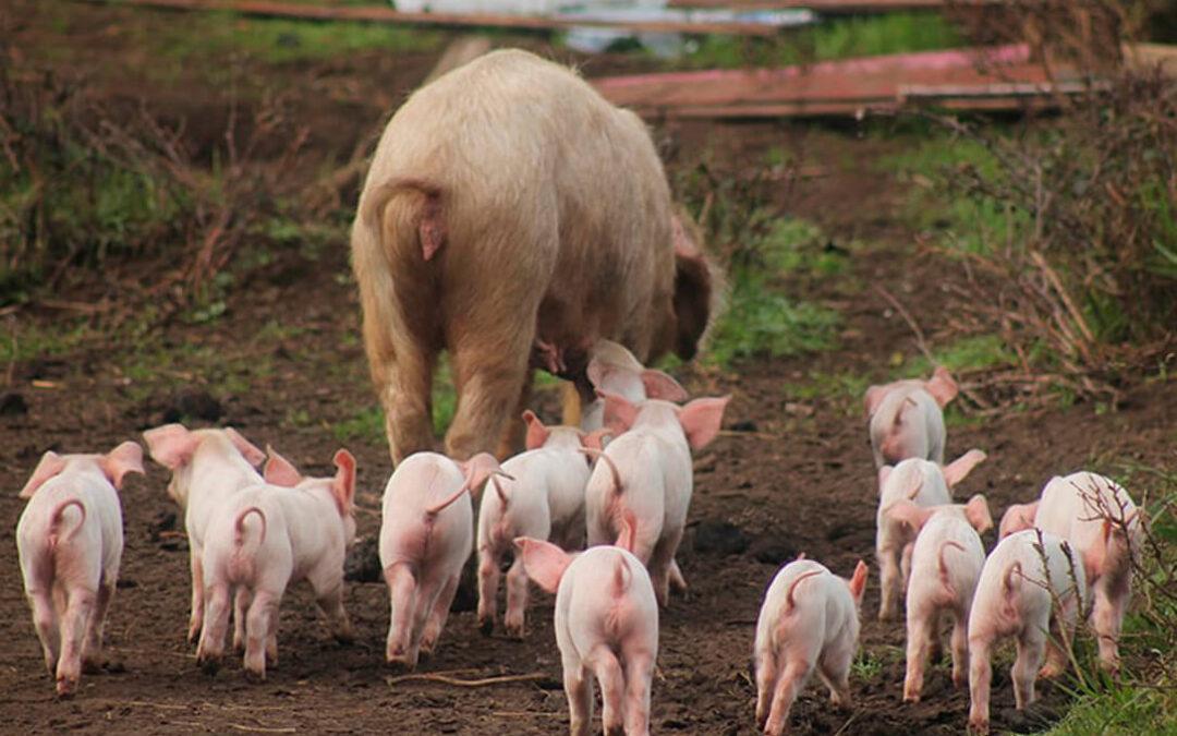 Los ganaderos del porcino asumen el cambio de ciclo y que es hora de retomar destinos que se dejaron por vender en China