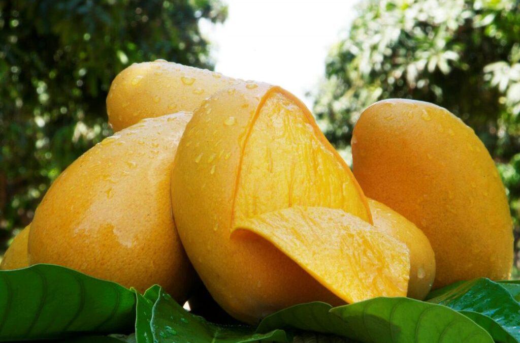 El mango mexicano tiene como principal reto consolidar su calidad para afianzar la solidez en los mercados internacionales