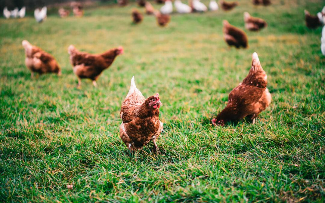 Micoalga-Feed, un proyecto innovador para reducir el uso de antibióticos en ganadería avícola con el uso de hongos y algas