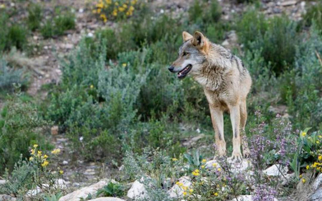 Plan del lobo: Ribera espera que esté operativo antes del fin de veda de caza mayor e insiste en que las ayudas llegarán de la PAC