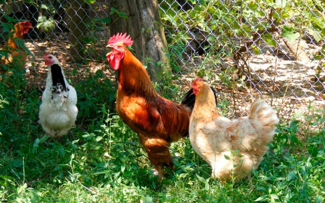 Aprobado el uso de proteína de origen animal, incluida la de insectos, para elaborar piensos para aves de corral y porcino