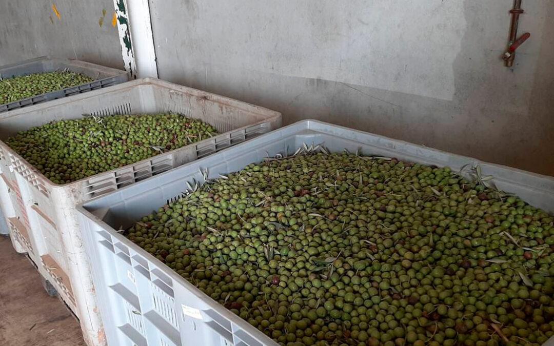 Arranca un verdeo de la aceituna de mesa corto, amenazado por la sequía y con un cosecha por debajo de la media