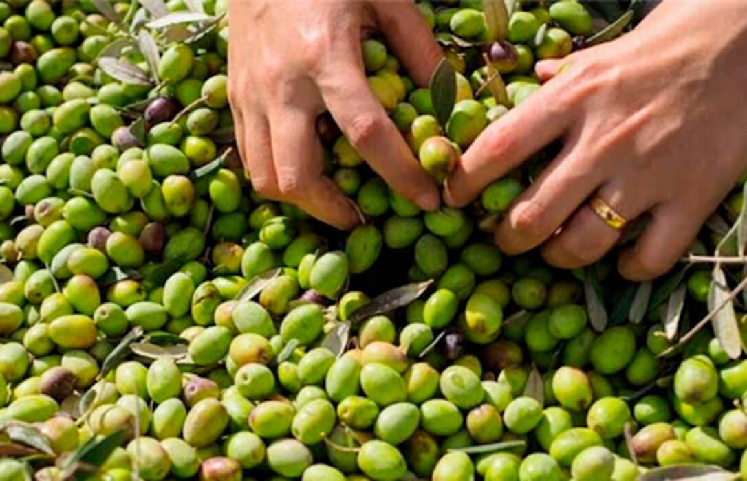 La aceituna de almazara extremeña tendrá más de un 20% de producción y mejores precios que la pasada campaña