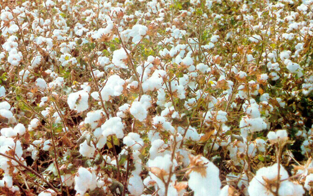 El aforo de cultivo del algodón andaluz de la próxima campaña bajará tanto en producción como en superficie