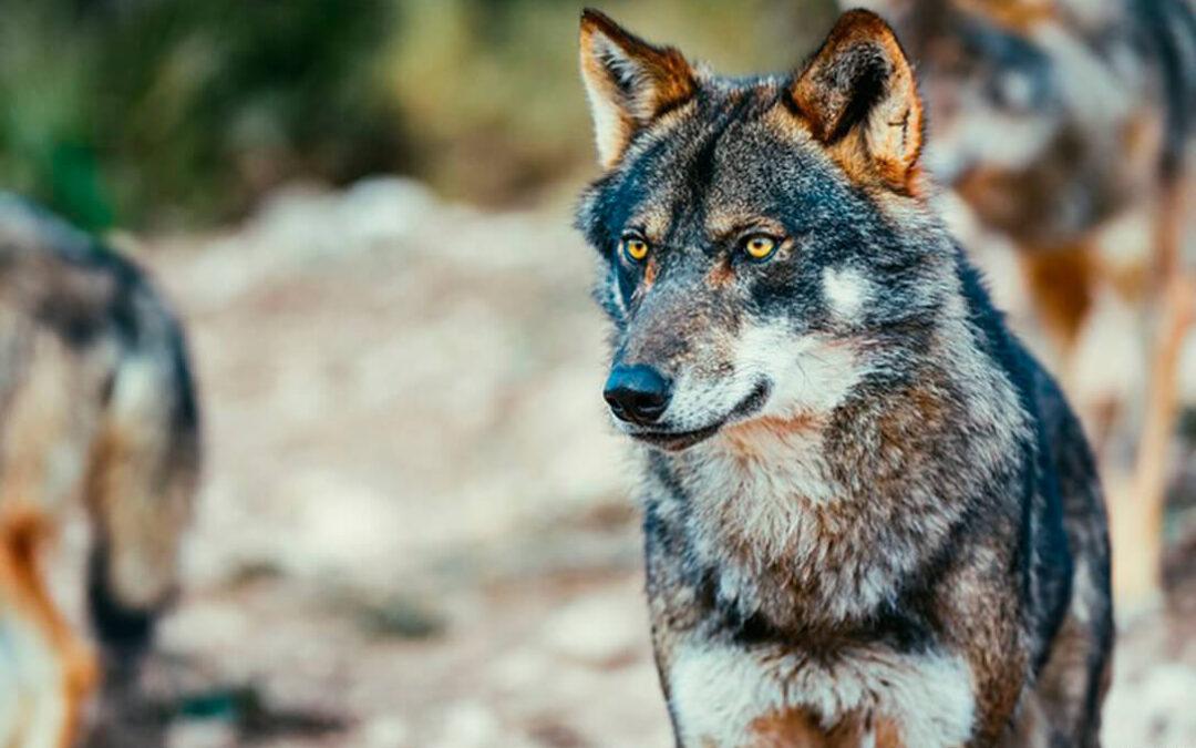 Acusan a la consellera Ánxeles Vázquez de ser la única responsable del desastre del lobo en Galicia
