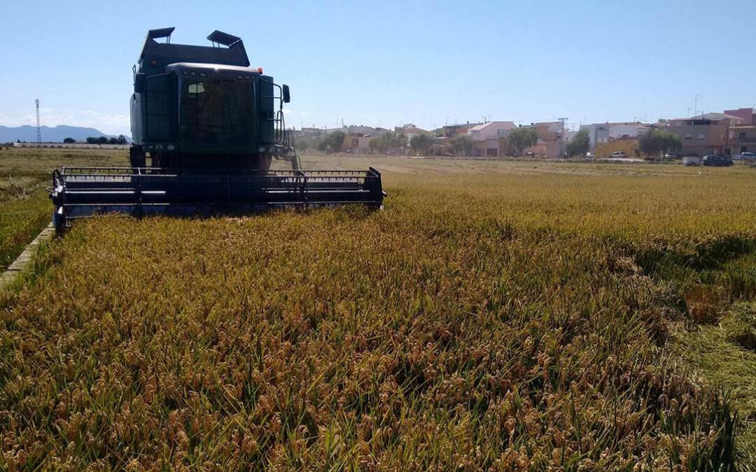 Estiman un descenso del 10% del arroz valenciano por la presencia récord de malas hierbas y los daños de la fauna salvaje