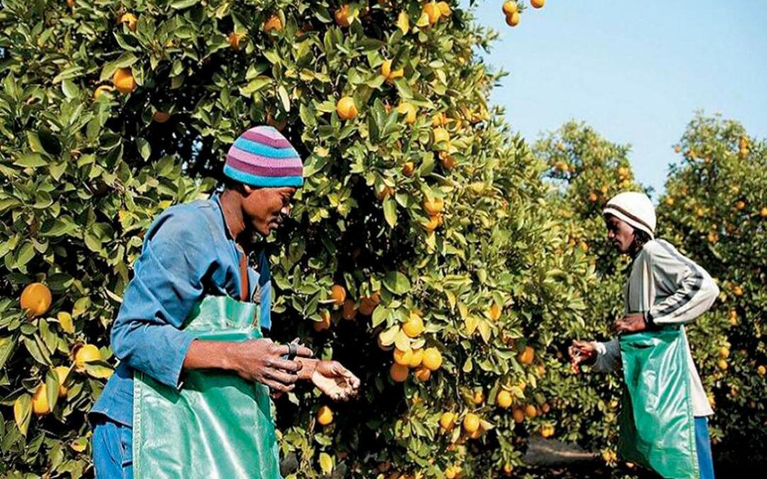 Sudáfrica sigue sumando rechazos de cítricos con plagas y Argentina vuelve a las andadas