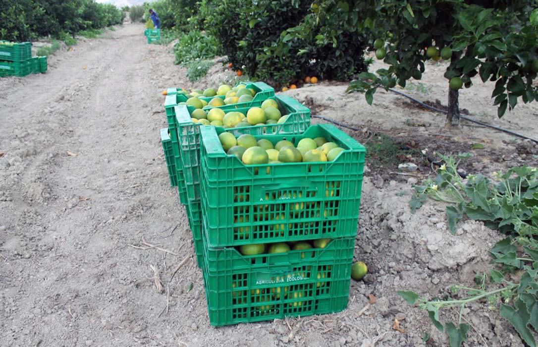 Plantean a los productores que no tengan prisa a la hora de vender su cosecha de cítricos ante la presión de la gran distribución