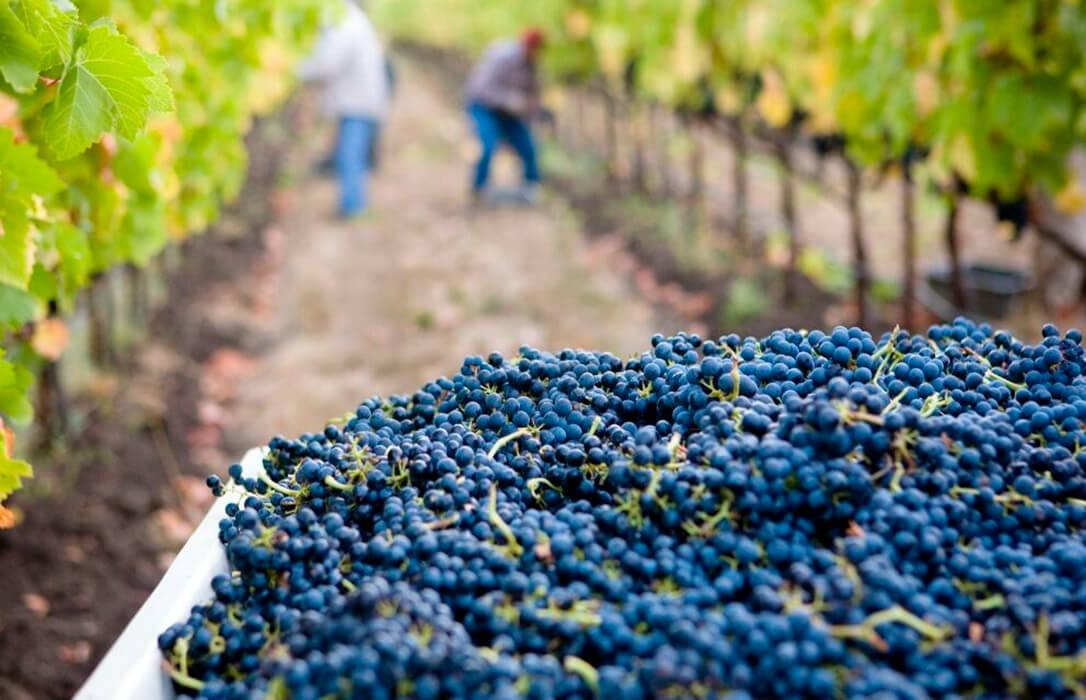 La campaña vitivinícola en Castilla-La Mancha será casi un 25% inferior con respecto a la de 2020