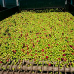 La corta cosecha mundial permitirá que en 2021 el sector del verdeo nacional supere por fin su crisis de precios